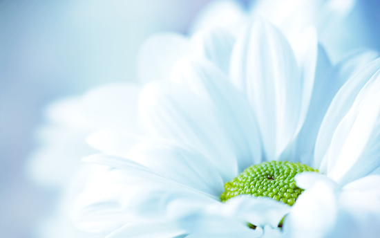 calmflower